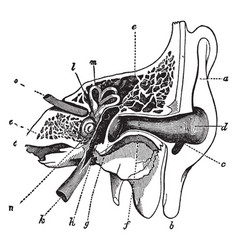 A cross section of the ear vintage vector
