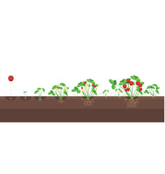 cartoon growth stages of strawberries vector image vector image