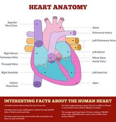 Diagram of human heart anatomy vector