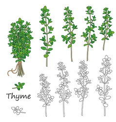 Thyme set vector