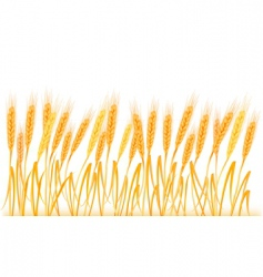 Wheat ears on field vector