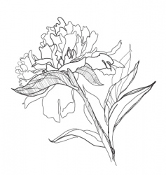 Drawing peony vector