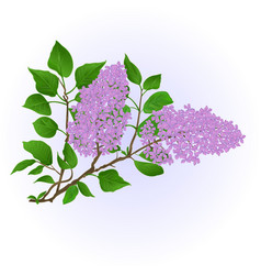 Twig lilac with flowers and leaves vintage vector