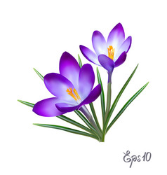 Crocus flowers elegant vintage card vector