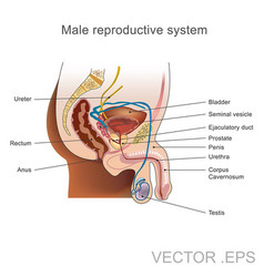 the male reproductive system vector image vector image