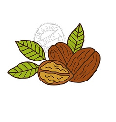 Hand drawn walnuts vector