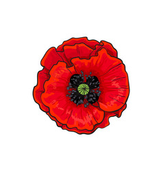 Red poppy flower blossom blooming closeup vector