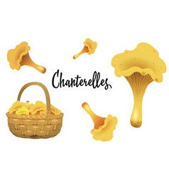 Wicker basket full of chanterelles and mushroom vector