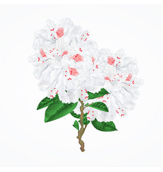 Twig white flower rhododendron mountain shrub vector