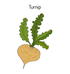turnip vegetable hand drawn vector image vector image