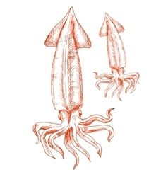 Vintage sketch drawing of red squid vector