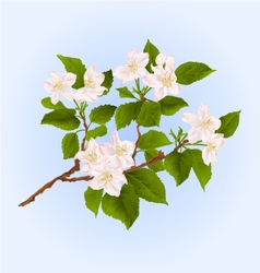 Branch of apple tree with flowers vector image vector image