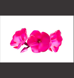 Pink phlox flowers vector