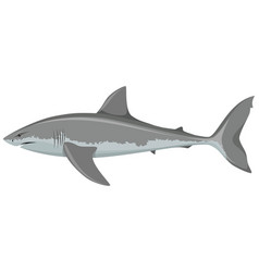 Big white shark vector