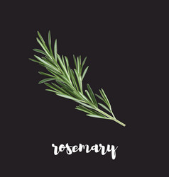 rosemary herb isolated on a black background vector image vector image
