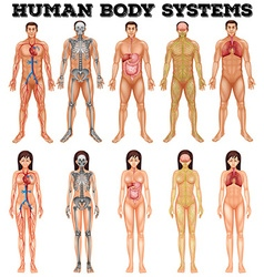 Body system of man and woman vector