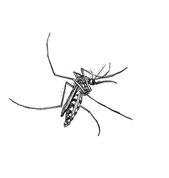 Sketch of mosquito on white vector image