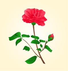 Flower camellia japonica with bud vector