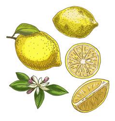 Lemon with leaf half of the fruit flower vector
