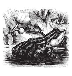 Edible frog vintage vector