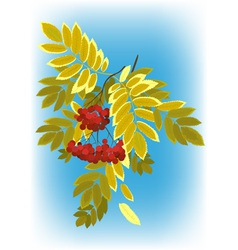 Autumn rowan branch with berries and leaves yellow vector