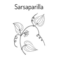 Sarsaparilla smilax ornata trailing vine vector