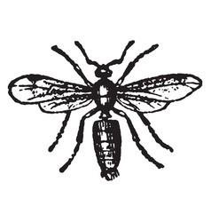 Male ash black ant vintage vector