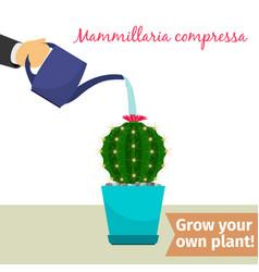 Hand watering mammillaria compressa plant vector