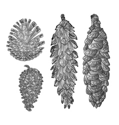 Pine cones pine and spruce as engraving vintage vector image vector image