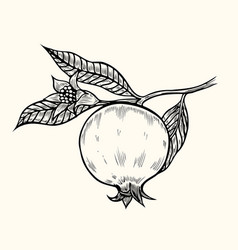 pomegranate hand drawn vector image