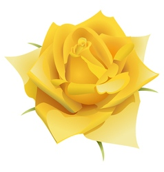 Yellow rose flower isolated vector