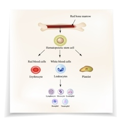 Limbo blood cells in bone marrow infographics vector