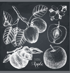 Vintage set of apple sketch vector