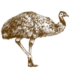 engraving drawing of ostrich emu vector image