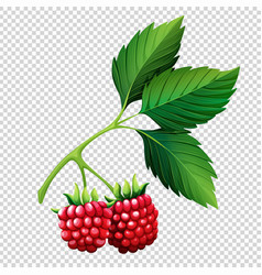 Raspberries on branch on transparent background vector