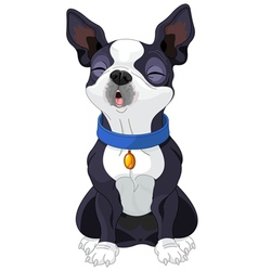 Howling Boston Terrier vector image vector image