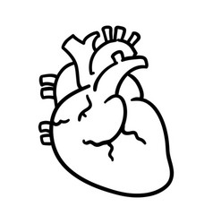 isolated human heart vector image