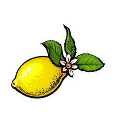 Sketch ripe lemon with leaves and flower vector