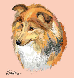 sheltie colorful hand drawing portrait vector image