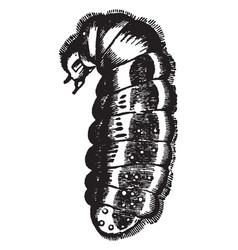 Larva of the red ant vintage vector