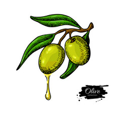 olive branch with a drop of olive oil vector image vector image