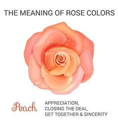 Peach rose infographics vector