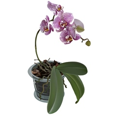 Photorealistic of phalaenopsis with flower pot vector