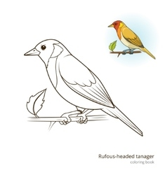 Rufous headed tanager color book vector image vector image
