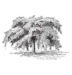 Camperdown elm vintage vector