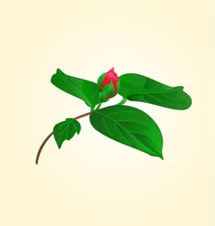 Flower camellia japonica flower bud vector