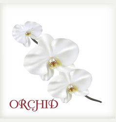 White flowers of orchid vector