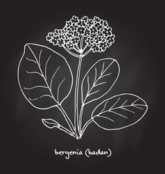 Medicinal and garden plant bergenia vector