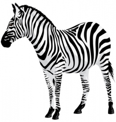 Zebra vector illustration vector