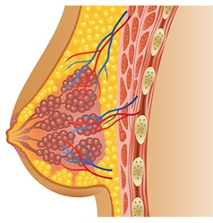 Cartoon of female breast anatomy vector